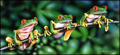 Royce B. McClure - Tree Frogs